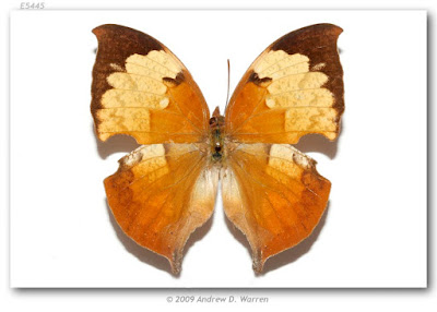 Mariposa ojitos (Zaretis itys)