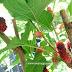 Jus buah Mulberry dari kebun belakang rumah