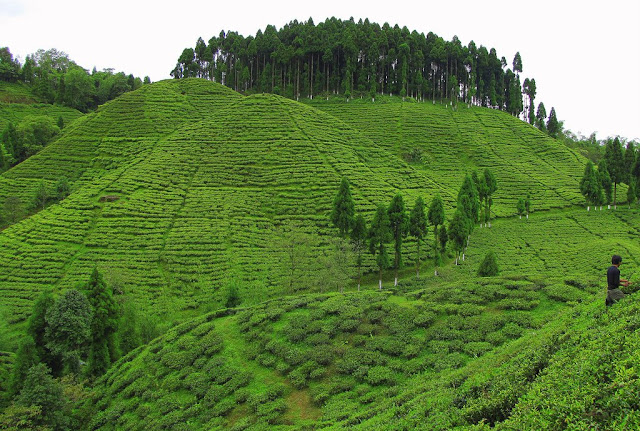 6-Tea-Garden-In-Darjeeling