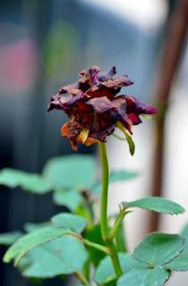gambar bunga mawar indah 44