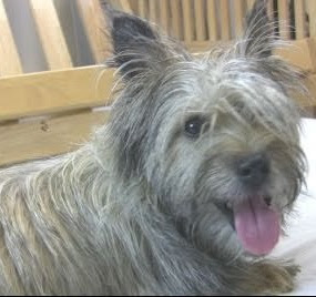 Cairn Terrier Poodle mix (Cairnoodle) Temperament, Size, Adoption, Lifespan
