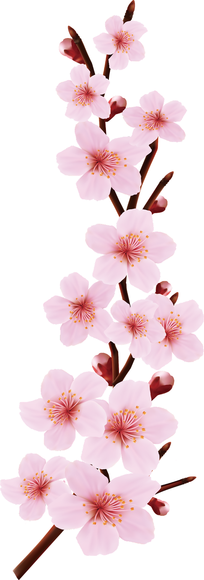 Pink flowers Blossom Drawing, Cherry design, flower Arranging, branch, happy Birthday Vector Images png free png download