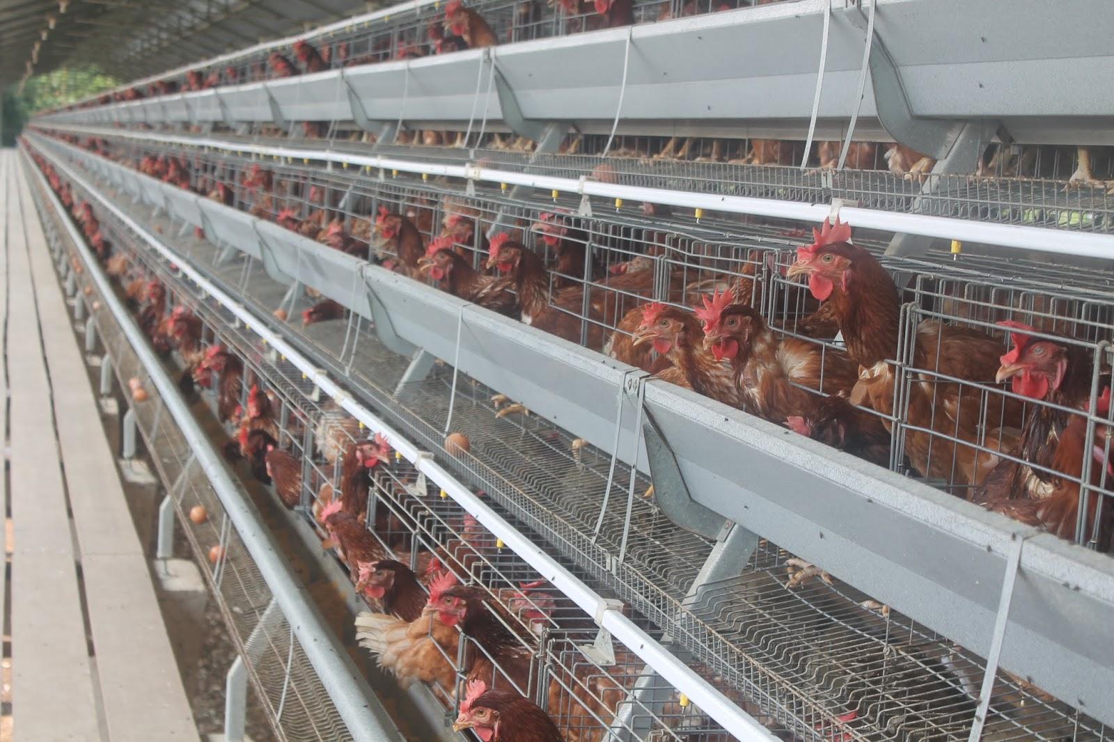 Tiga Desa Di Kabupaten Barito Jadi Pilot Project Peternakan Ayam Petelur