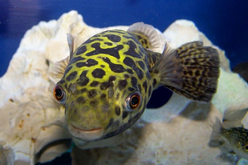 Gambar Ikan Hias Air Payau-Figure 8 puffer fish