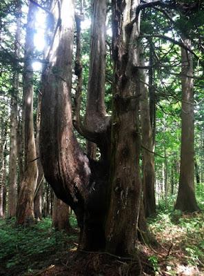 ヒバの大木