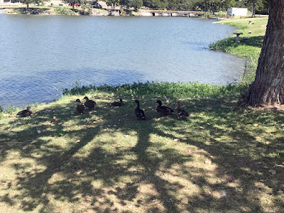 Lake Granbury, Texas Park Ducks