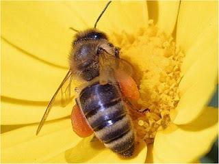 Abeille ouvriere sur fleur jaune