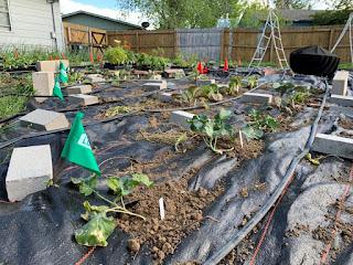 Freshly planted seedlings in ground