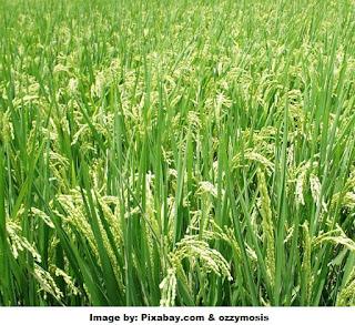 Karakteristik padi sawah
