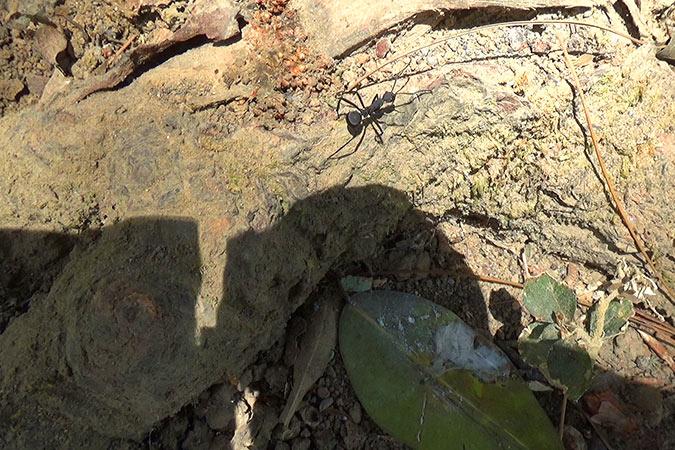 Dlium Seleb ant (Polyrhachis abdominalis)