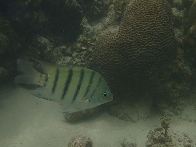 Abudefduf bengalensis