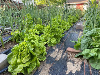 Lettuce and Garlic Rows