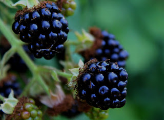 Blackberries www.pixabay.com