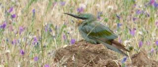 http://aves-extremadura.blogspot.com.es/2017/04/primer-abejaruco-persa-en-extremadura.html