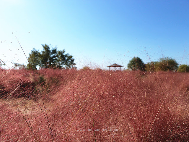 Muhly Grass Pink Haneul Park