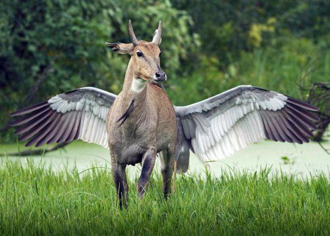 vaca com asas