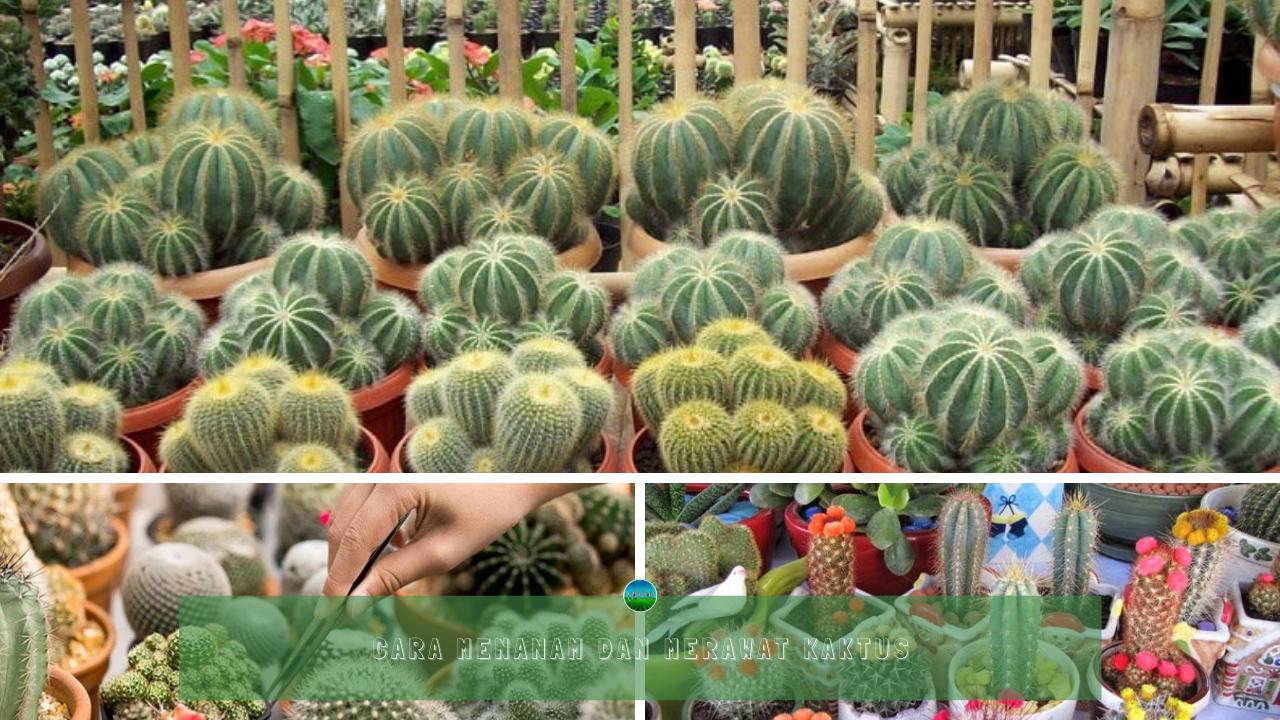 Cara Menanam dan Merawat Kaktus