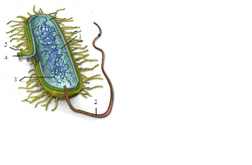 Dibujo Celula Eucariota Facil