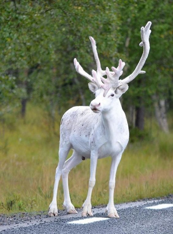 Reindeer | A-Z List of 125 Rare Albino Animals [Pics]