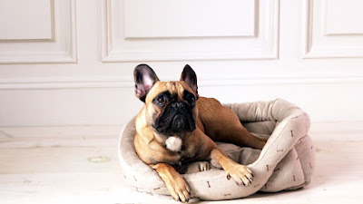 Frenchie In Bed