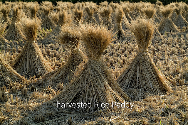 """Alt: = """"photo showing harvested rice paddy tied together"""""""