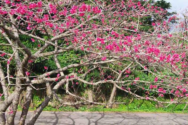 festival, flowers, sakura, Okinawa