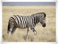 Zebra Animal Pictures