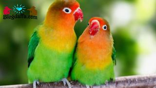 Cara Memilih Indukan Burung Lovebird