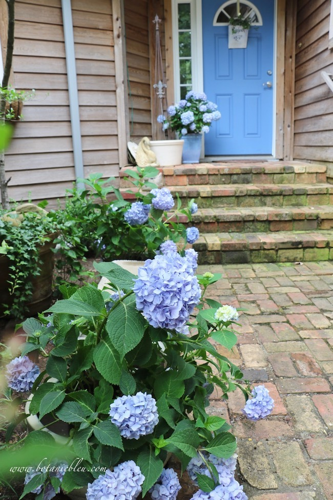 Summer Courtyard Blue Hydrangeas Add Curb Appeal to antique Chicago brick porch