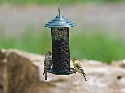 Photo of a Pine Siskin and Lesser Goldfinch on a thistle feeder