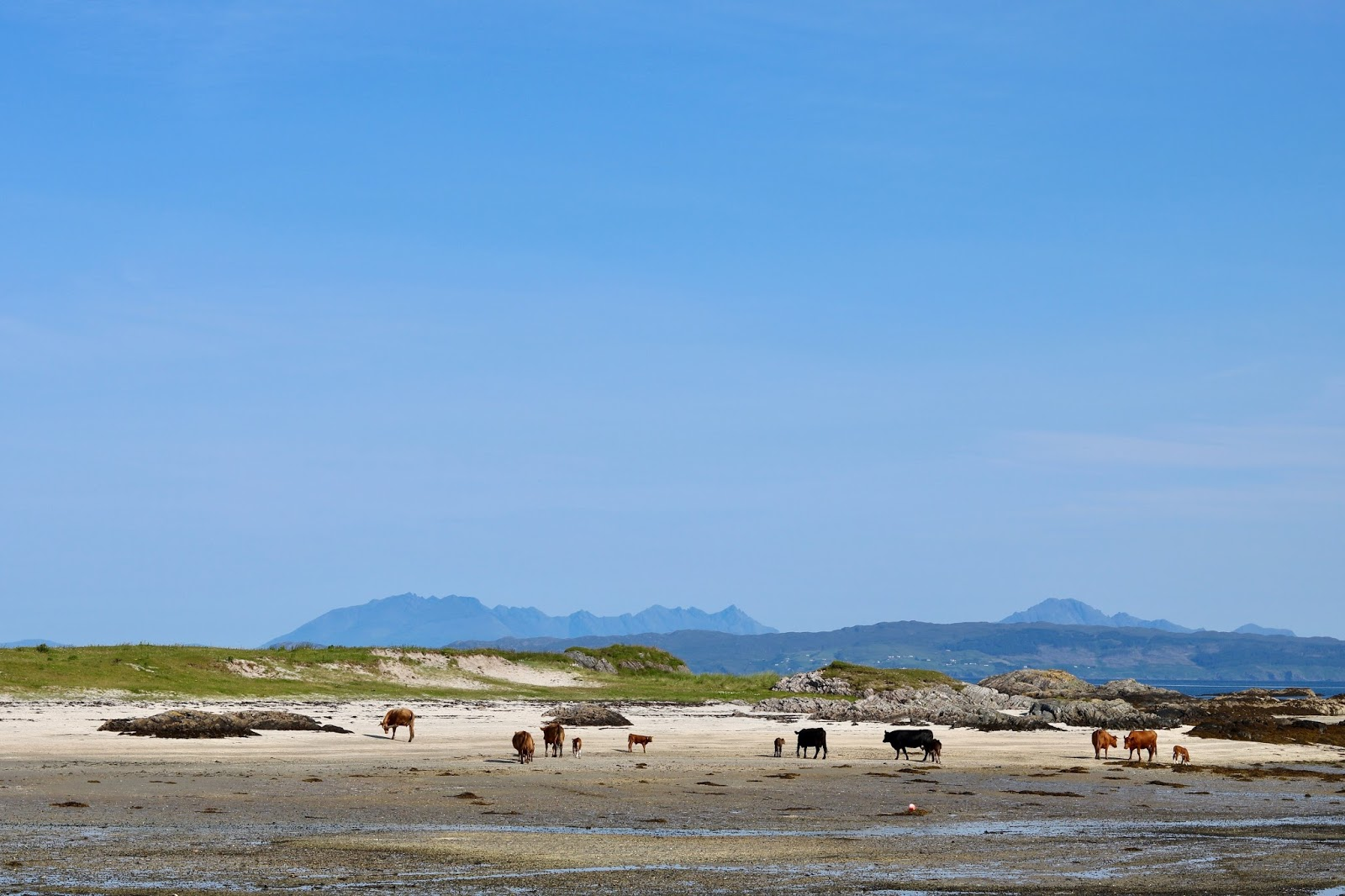 A bunch of cows on the beach of Arisaig going for a swim in the sea, cal mctravels