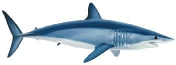 Tubarão Mako ou Tubarão Anequim