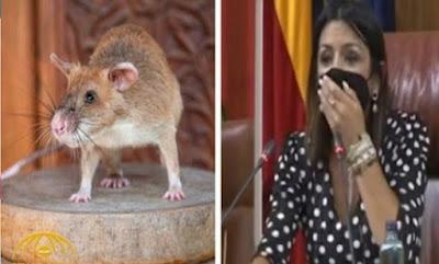 بالفيديو: فأر ضخم يقتحم جلسة البرلمان يتسبب في حالة فزع وفوضى بين النواب
