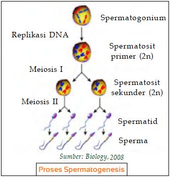 gambar proses spermatogenesis pada pria