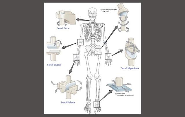 Pengertian Sendi, Struktur Sendi, Komponen Sendi, Fungsi Sendi