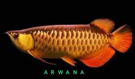 panduan lengkap budidaya ikan arwana golden red
