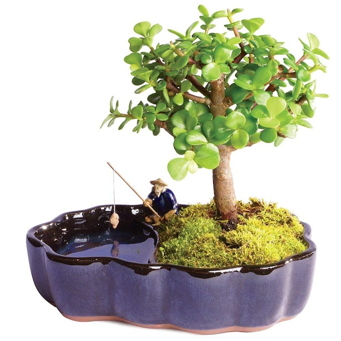 """Brussel's Bonsai Live Dwarf Jade Indoor Bonsai Tree in Zen Reflections Pot - 3 Years Old; 8"""" to 10"""" Tall"""