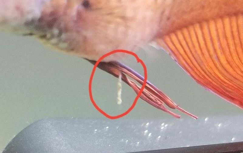 Berak Putih pada Ikan Cupang - 10 Jenis Penyakit pada Ikan Cupang, Penyebab, gejala dan cara mengobatinya