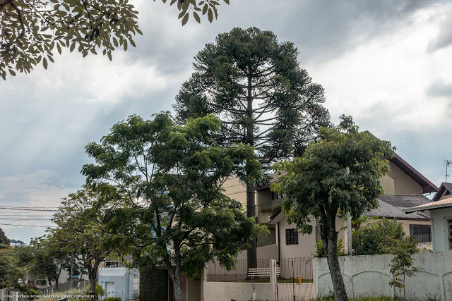 Outro pinheiro, esse na Rua dos Dominicanos