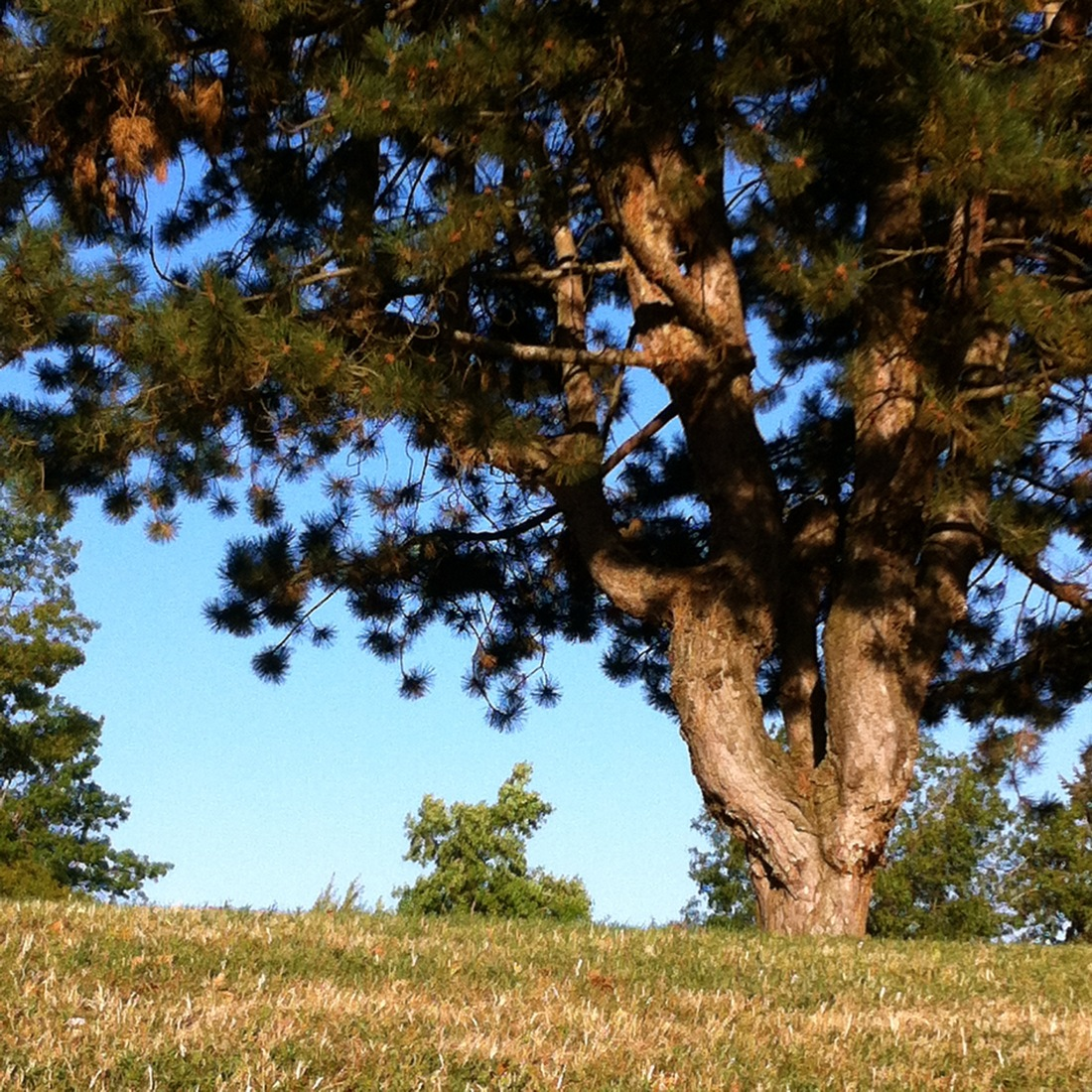 pine tree in shadow and light, shadow and light, summer shadow and light, pine tree in the park, summer pine tree
