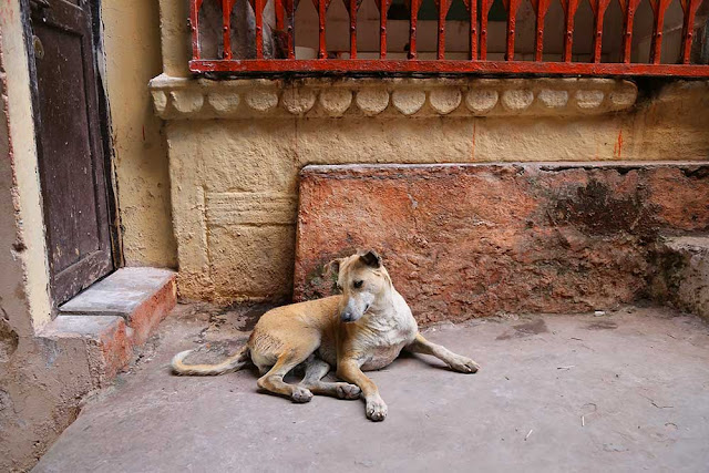 street dogs of india varanasi