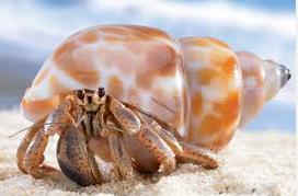 Kepiting Hermit Hewan Peliharaan Omivora Untuk Terarium cantik