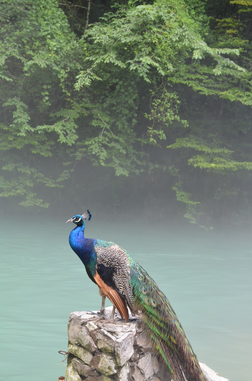 peacock-near-river-pictures