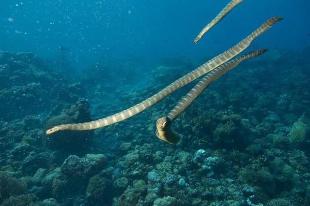 Ikan Hydro Cyanocintus bernafas lewat dahi