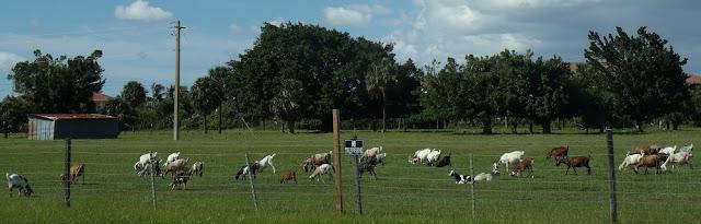 Cabras en las fincas