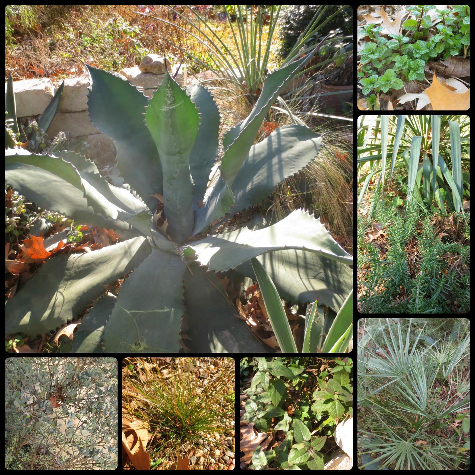 Tropical Texana: TEXAS COTTAGE GARDEN~ 50 PLANTS THAT LOOK