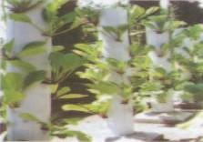 Gambar Sawi/ Caisin yang dibudidayakan dalam kolom vertikal paralon