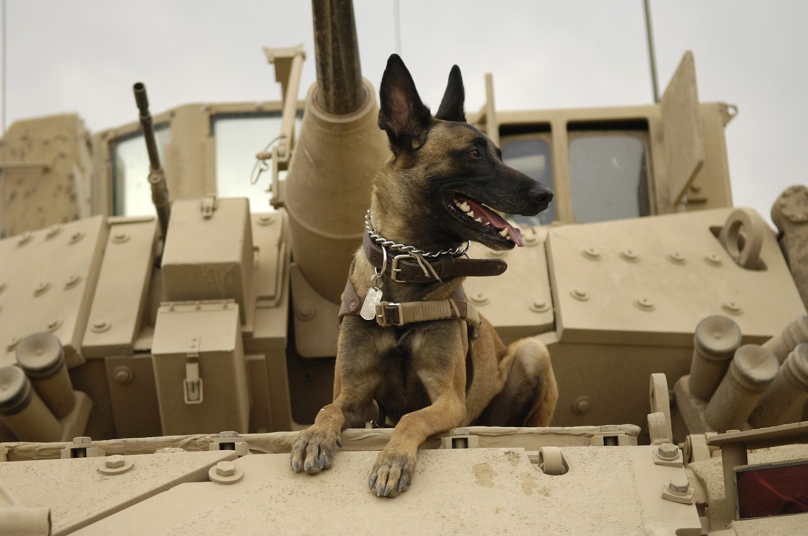 close up of a miltary working dog laying down on the front of a tank to illustrate blog post about animal war movies