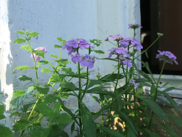 Pale purple Candytuft.