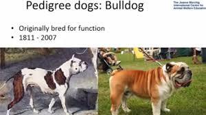 evolução do buldog